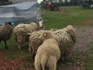 Zase za ovečkami